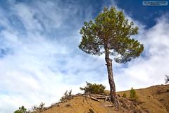 Lonely Tree (zulkifaltin) Tags: tree green nature pine village earth hill am aa tepe keleki