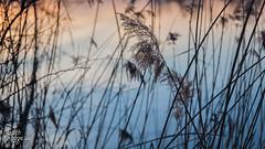 Gradient II (judithrouge) Tags: blue white lake water dawn see evening abend wasser gradient blau phragmites schilf eveninglight gegenlicht abenddämmerung abendlicht weis farbverlauf