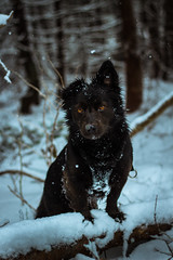 Unleash the beast (Jon.the.canadian) Tags: winter shadow dog snow cute dogs nature animals puppy outdoors wildlife schipperke whoa awe