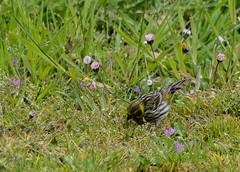11 04 2016 (cathyk31) Tags: bird oiseau eurasiansiskin carduelisspinus tarindesaulnes fringillids passriformes
