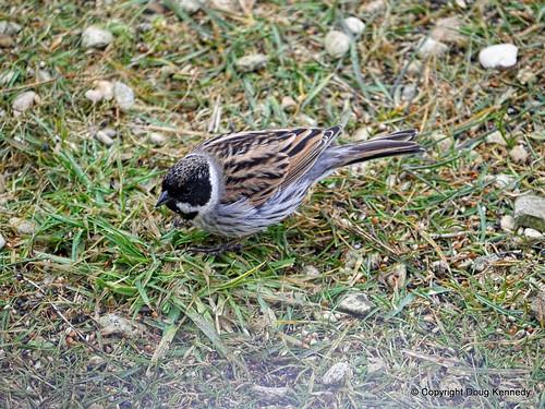 Otmoor Reed Bunting male