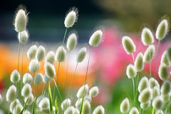 /Lagurus ovatus-1 (nobuflickr) Tags: flower nature japan kyoto   lagurus ovatus thekyotobotanicalgarden  awesomeblossoms    20160419dsc07461
