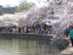 Cherry Blossoms surrounding Tidal Basin (Aldene.Gordon) Tags: washingtondc basin cherryblossoms tidal