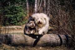 Double trouble (Wally&Roops) Tags: friends dog tree cute dogs forest happy jump log woods funny sweet joy bestfriends