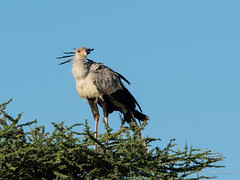 Secretary bird, the snake killer. (davdenic  in the sky ) Tags: africa nature tanzania wildlife safari ngorongoro serengeti savanna savana