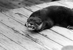 (beastliness) (Dinasty_Oomae) Tags: blackandwhite monochrome blackwhite chiba otter exakta ichikawa     ihagee   exaktavarex     vx