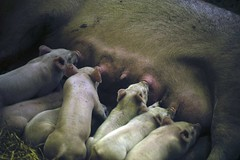 Easter Show 2016 (phillipdumoulin) Tags: show city food animals easter country sydney australia pigs nsw agriculture homebush piglets sydneyolympicpark domesticatedanimals eastershow2016