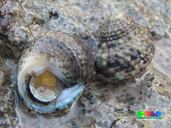 Toothed top shell snail (Monodonta labio) (wildsingapore) Tags: island marine singapore coastal shore intertidal seashore mollusca gastropoda marinelife lazarus labio wildsingapore trochidae monodonta
