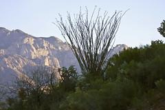Ocatillo (Fouquieria splendens); Catalina, AZ [Lou Feltz] (deserttoad) Tags: arizona plant mountains nature flora desert thorns shrub botany susset