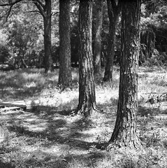 Srie(s) (lamachineaveugle) Tags: bw rboles arbres carlzeiss hasselblad500cm planar80mmf28