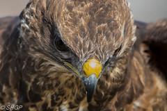 Common Buzzard (SHGP) Tags: bird nature animal st canon wildlife sigma foundation raptor prey buzzard common cambridgeshire ives huntingdon 18200mm 700d