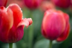 (kecotting) Tags: pink flowers red plants green water rain weather canon garden outdoors spring dof flowerbed tulip raindrop springtime hersheygardens
