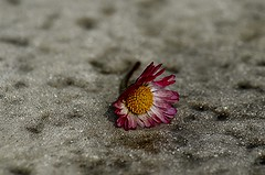 If I die , do not cryv, look at the sky and say goodbye. (natus.) Tags: flower daisy thegalaxy