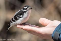 Friendly Woodpecker (rdroniuk) Tags: birds downywoodpecker picoidespubescens pic woodpeckers oiseaux smallbirds passerines downywoodpeckermale picmineur passereaux