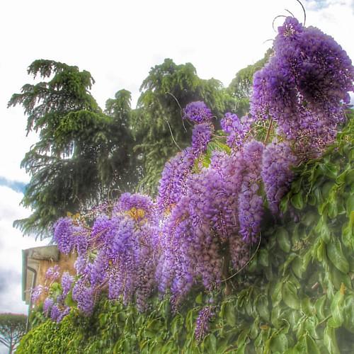 #spring #glicini #colors #instacolor #instagood