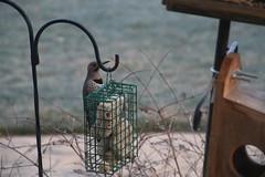 Common Flicker Pictures from March 2016 (Saline Michigan) (cseeman) Tags: cold birds backyard woodpecker michigan feeder saline yellowshafted suetfeeder commonyellowshaftedflicker commonflicker commonflicker032016