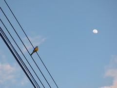 Tan cerca y tan lejos (Jorge Solís Campos) Tags: naturaleza moon bird nature animal fauna costarica wildlife luna ave wildanimal pájaro tyrannusmelancholicus animalsalvaje pérezzeledón vidasalvaje tiranotropical