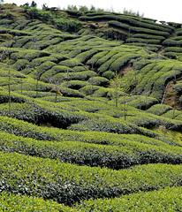 Alishan, Tainan (Lost in Kaohsiung) Tags: mountain asia taiwan teaplantation alishan