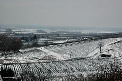 ..inverno: la neve nei vigneti (antosti) Tags: gelo nikon d70s neve francia freddo belfort foschia vigneti alsazia