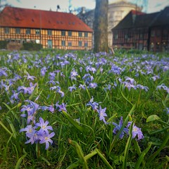 INSTAGRAM 365 Day 97: Little Flowers (tomas_nilsson) Tags: instagram365 sweden lund flowers spring springweather colorful blue buildings tree cellphonephotography lg g4 snapseed postprocessing