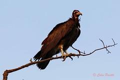 hooded vulture (necrosyrtes monachus) (Colin Pacitti) Tags: bird animal outdoor perched vulture hoodedvulture wildbird coth necrosyrtesmonachus eiap fantasticwildlife birdperfect hennysanimals