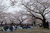 20160405-060-Picnics under Yoyogi-koen cherry blossoms (Roger T Wong) Tags: travel people holiday japan garden balloons tokyo spring picnic crowd harajuku cherryblossoms canonef1740mmf4lusm yoyogikoen 2016 canon1740f4l canoneos6d rogertwong