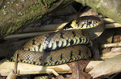 Grass Snake (Natrix natrix) (Julian Hodgson) Tags: cambridgeshire grasssnake woodwaltonfen nationalnaturereserve natrixnatrix greatfen canonpowershotsx50hs