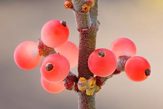Mesquite Mistletoe (Phoradendron californicum)