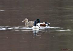 04021690059asmweb (ecwillet) Tags: duck nikon northernshoveler shoveler harrisburgpa susquehannariver nikon500mmf4 wildwoodparkharrisburgpa ericwillet nikond800e ecwillet