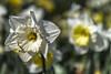 Holland - Narcissus Daffodil2016-2 (robdeheer) Tags: flowers sun holland canon spring nederland thenetherlands explore daffodil paysbas zon bloemen narcis niederlande tegenlicht narcissen voorjaar bulbfields frühjahr hollanda frühlingszeit narcissusdaffodil updatecollection canon7dnoordholland