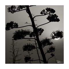 (ngel mateo) Tags: sunset sky blackandwhite espaa naturaleza blancoynegro nature backlight contraluz atardecer andaluca spain cielo puestadesol andalusia almera gives cabodegata pita ngelmartnmateo ngelmateo