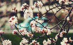 Hanami 2016: Sakura (Jon-F, themachine) Tags: flowers plants plant flower nature japan asian outdoors flora asia olympus  cherryblossom  sakura cherryblossoms nippon japo oriental  orient  fareast  aichi nihon hanami  omd   chubu japn    2016 m43  mft   mirrorless  chuubu   micro43 microfourthirds  ft xapn jonfu  mirrorlesscamera snapseed   em5ii em5markii