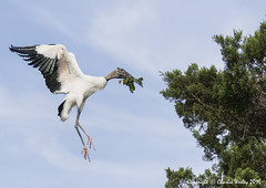 In For A Landing (wesjr50) Tags: wood birds st canon farm flash flight alligator ii 7d l mm beamer augustine better ef mk stork wading rookery in 100400 f4556