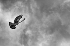 Lucky flyby (Boris Peters Arnhem) Tags: light sky blackandwhite bw white black bird strange amsterdam clouds fly shot angle pigeon lucky grenade ij flyby