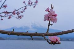 Cherry blossom (lublud) Tags: sky lake snow tree japan spring asia fuji mountfuji  cherryblossom  sakura fujisan  kawaguchiko