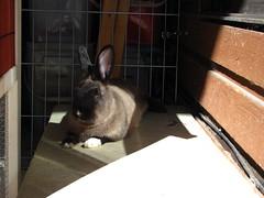 Snoozing Toki (Anomieus) Tags: pet cute rabbit bunny bunnies animal furry konijn conejo tail ears rabbits paws coney coelho lapin kaninchen houserabbit coniglio cottontail ウサギ cony kanin кролик królik leporidae nyúl κουνέλι iepure заяц leporid กระต่าย 집토끼 兔子的毛皮 kunić питомен