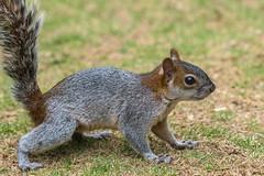 Vida (ruimc77) Tags: city cidade naturaleza macro ex nature mxico mexico nikon squirrel df dof bokeh natureza sigma ciudad 11 os coyoacan esquilo dg ardilla coyoacn viveros 105mm hsm d810