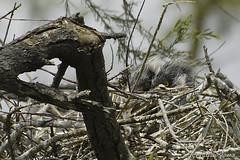 _DSC0444 (chris30300) Tags: france heron de pont parc oiseau camargue gau saintesmariesdelamer flamant provencealpesctedazur ornithologique