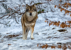 Wild one (Stephen Hunt61) Tags: park wild parco snow nature animal animals forest wolf natural outdoor wildlife neve lupo greywolf mammifero