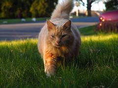 Front Lawn Murray (Boneil Photography) Tags: pet cat canon powershot mainecoon murray f28 g16 305mm boneilphotography brendanoneil