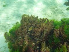 Blue Boxfish (Figgles1) Tags: blue fish beach snorkel south snorkeling fremantle groyne southbeach fsc boxfish southfremantle blueboxfish fremantlesailingclub p1020049
