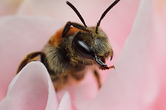 Miner bee  in a camellia flower #6 (Lord V) Tags: macro bug insect bee andrena minerbee