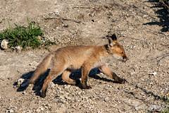 FoxSBahn-0122.jpg (mono-foto) Tags: wien tiere fuchs säugetiere
