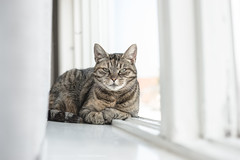 Miep (CarolienCadoni..) Tags: light white window cat photography curtains 50mmf14 sal50f14 sonyslta99