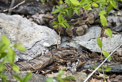 Watchful Eye (Jim-B-1979) Tags: nature rattlesnake basking crotalushorridus timberrattler pitviper
