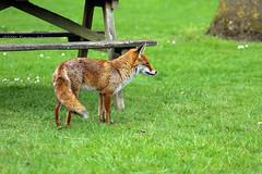 Urbanised (tommyajohansson) Tags: kewgardens london primavera kew geotagged spring fox printemps zorro fuchs botanicgardens royalbotanicgardens frhling vr rv botanisktrdgrd rnard vulpus tommyajohansson
