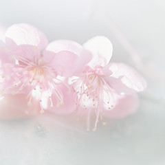 drops note 20160426_1 (**sirop) Tags: flower photography spring dream poetic sakura osanpocamera