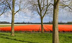 Holland's favorite colour (Martin van Duijn) Tags: flowers holland netherlands tulips bulbs noordwijk tulpen bollenstreek
