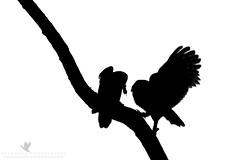 Busy Parents (santosh_shanmuga) Tags: wild blackandwhite food white black bird nature monochrome animal silhouette backlight outdoors md nikon feeding outdoor wildlife birding maryland aves raptor owl montgomery backlit prey bethesda 500mm exchange shrew birdofprey barred d3s