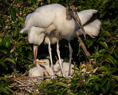 Wood Stork Family-5870 (Don Burkett) Tags: nature birds animal fauna canon florida outdoor wildlife southflorida dlsr wakodahatcheewetlands donburkett canon5dmiii 100400mii ef100400f4556liiusm dtburkett woostork